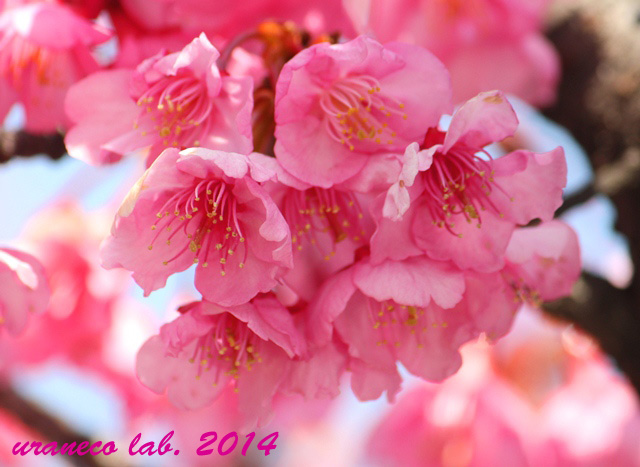 2月25日カワヅサクラ3