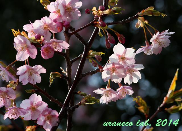 3月10日河津桜3