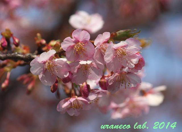 3月10日河津桜