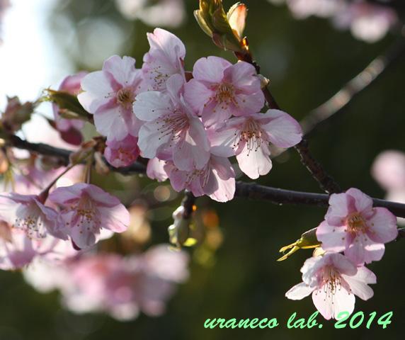 3月10日河津桜5
