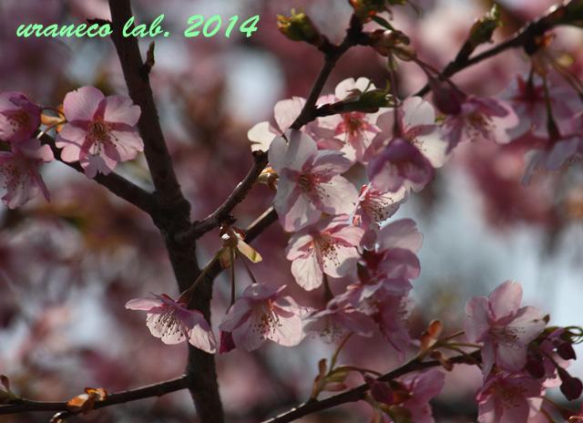 3月10日河津桜6