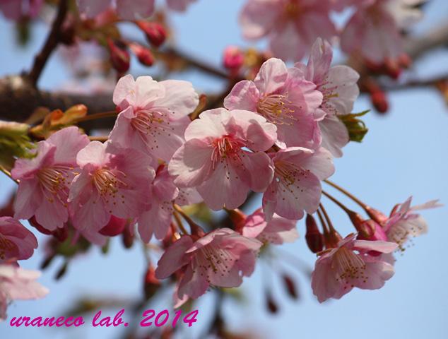3月10日河津桜7