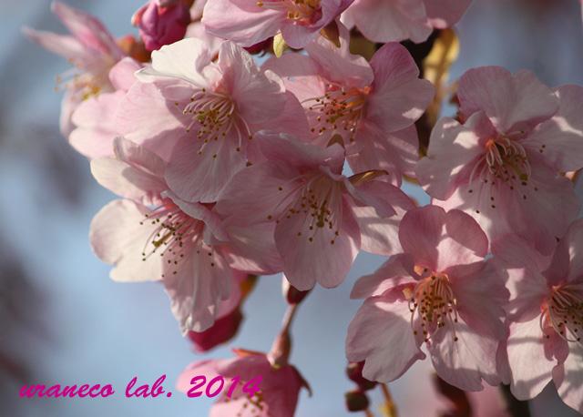 3月10日河津桜8