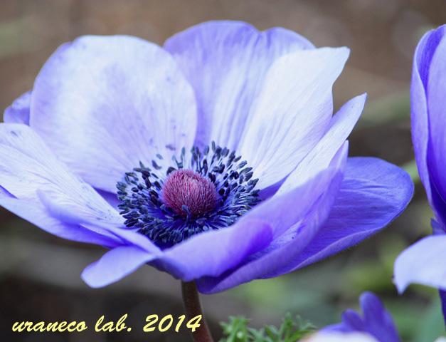 3月10日アネモネ青紫