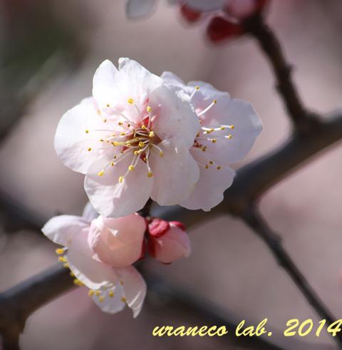 3月18日薄桃色