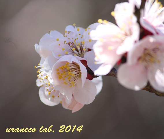 3月18日薄桃色2