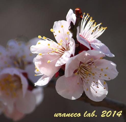 3月18日薄桃色3