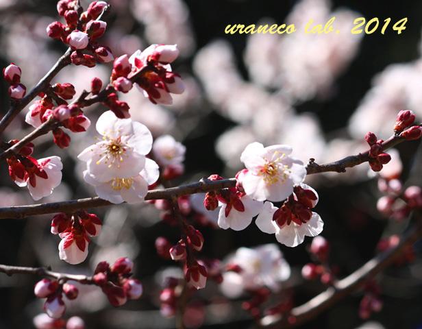 3月18日薄桃色4