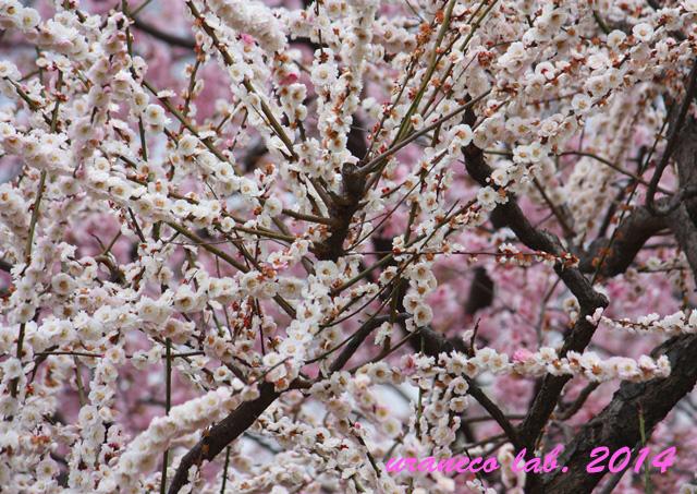 3月21日梅と寒桜2