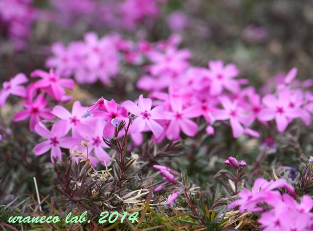 3月21日芝桜