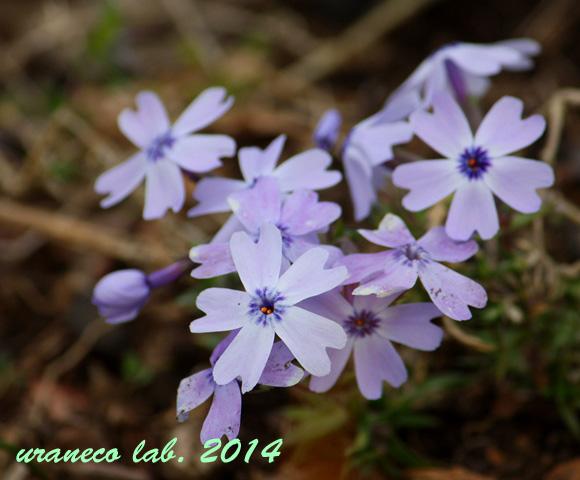 3月21日芝桜2