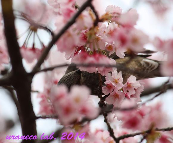 3月21日蜜吸鳥3