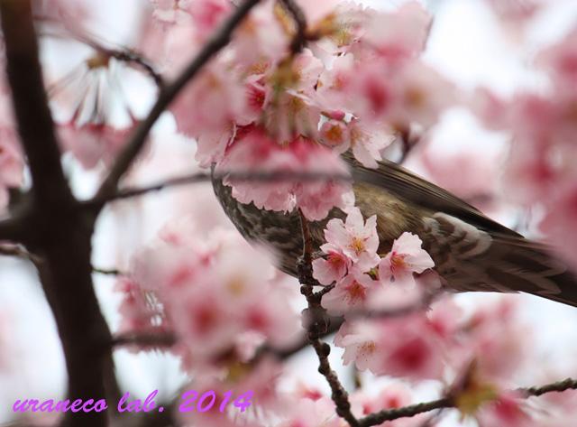 3月21日蜜吸鳥4