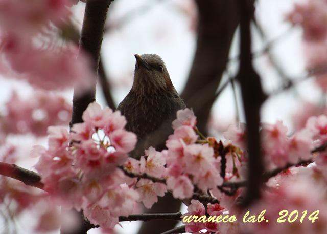 3月21日寒桜とヒヨドリ