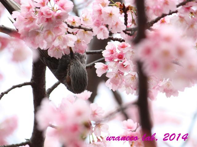 3月21日寒桜とヒヨドリ2