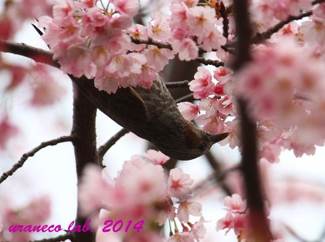 3月21日寒桜とヒヨドリ4