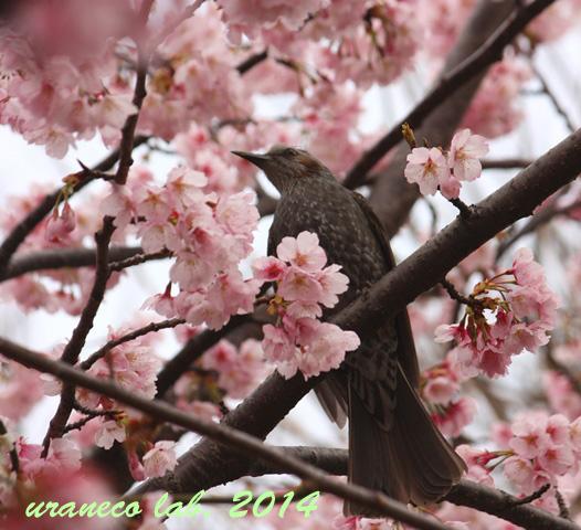 3月21日ヒヨドリ桜色