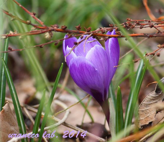 3月21日クロッカス濃い紫