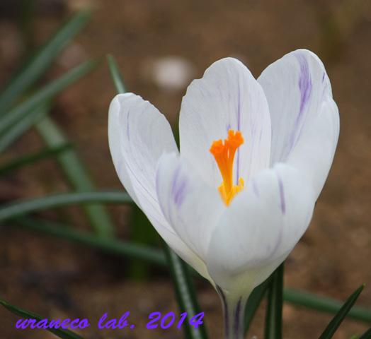 3月21日クロッカス白地に紫2