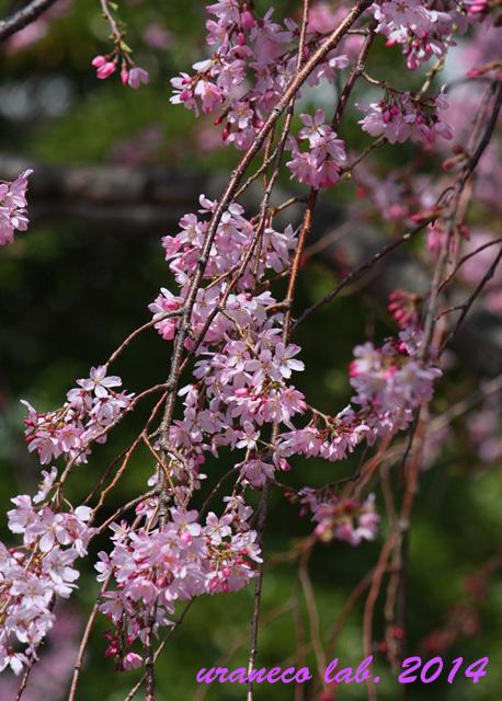 3月30日枝垂れ桜