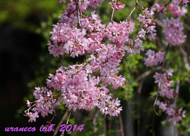 3月30日枝垂れ桜6