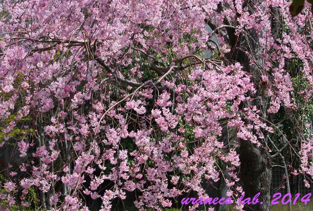 3月30日枝垂れ桜5