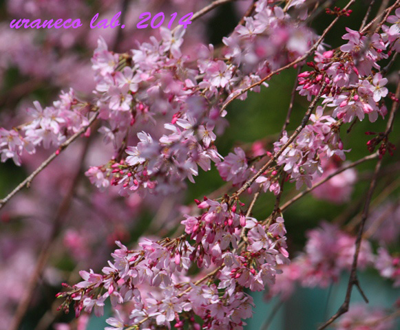 3月30日枝垂れ桜4