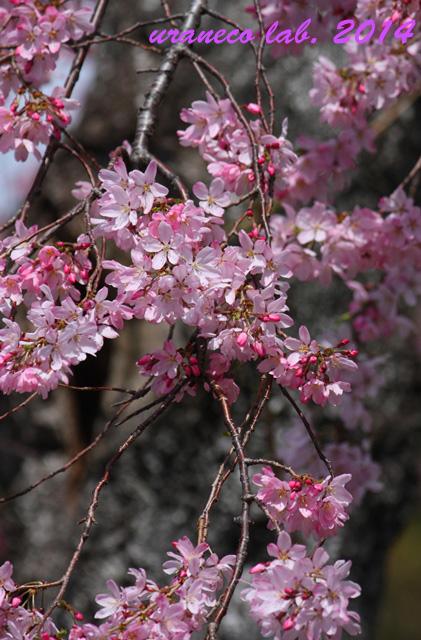 3月30日枝垂れ桜3