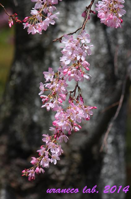 3月30日枝垂れ桜2