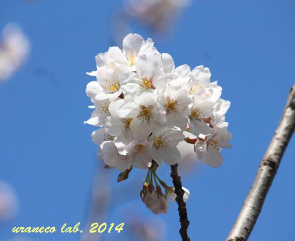 4月1日sakura sky3