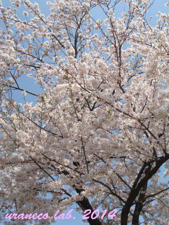 3月31日桜満開2