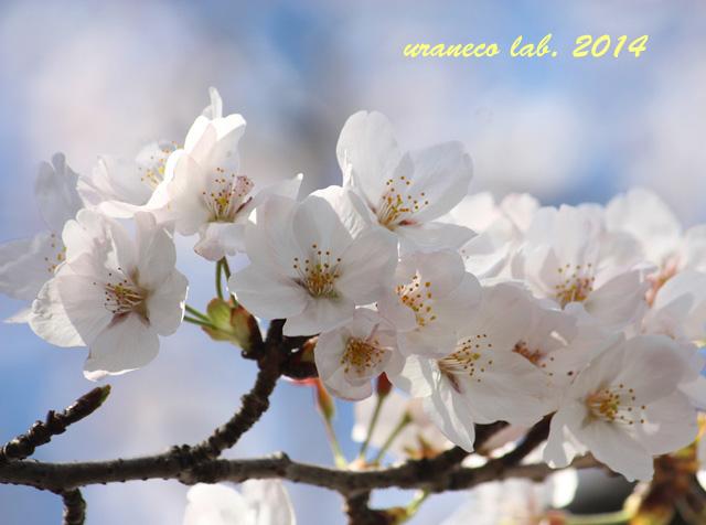 4月1日ソメイヨシノ
