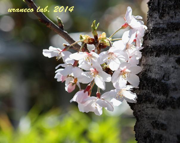 4月1日ソメイヨシノ3