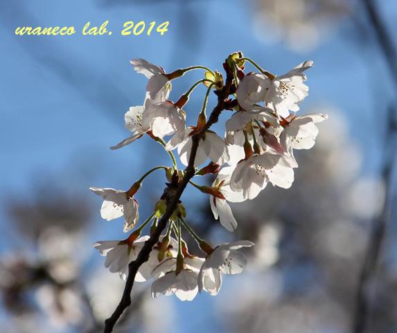 4月1日ソメイヨシノ4