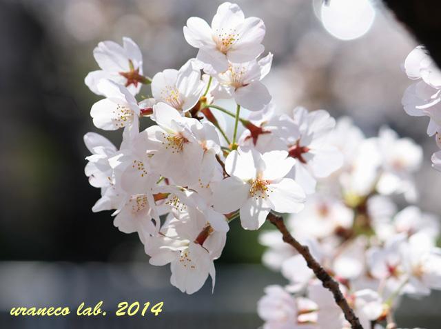4月1日ソメイヨシノ7