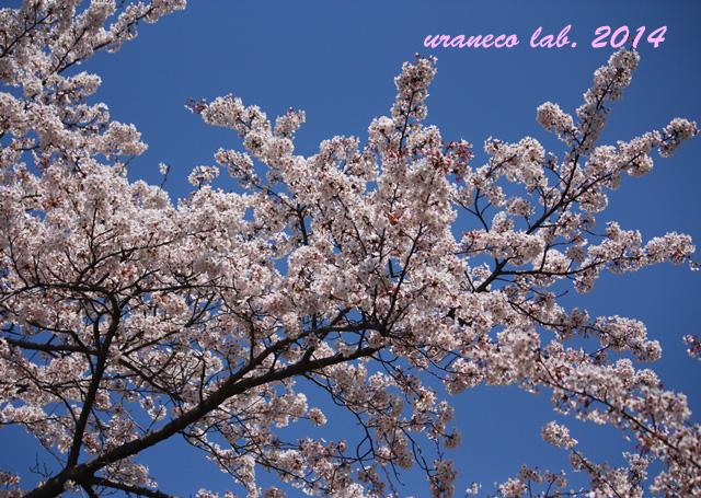 4月7日桜空