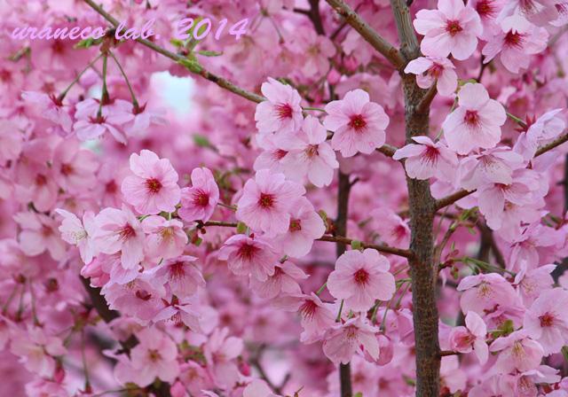 3月30日大寒桜4