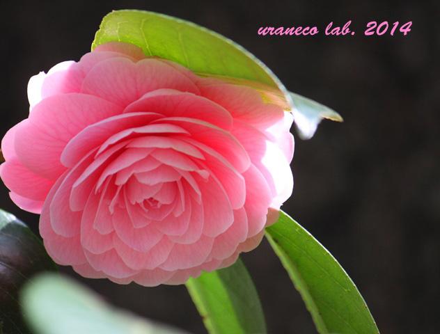 3月31日乙女椿