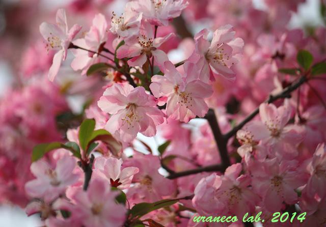 4月7日花海棠