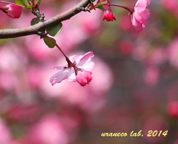 4月9日花海棠