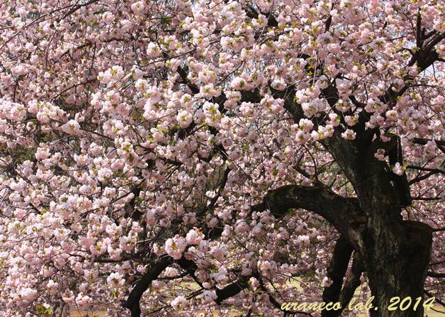 4月11日yaezakura tree2