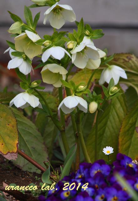 3月21日クリスマスローズのある花壇