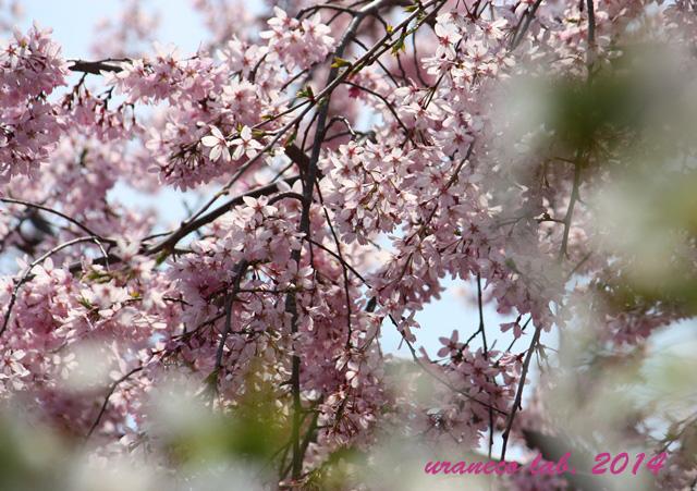 4月9日枝垂れ桜