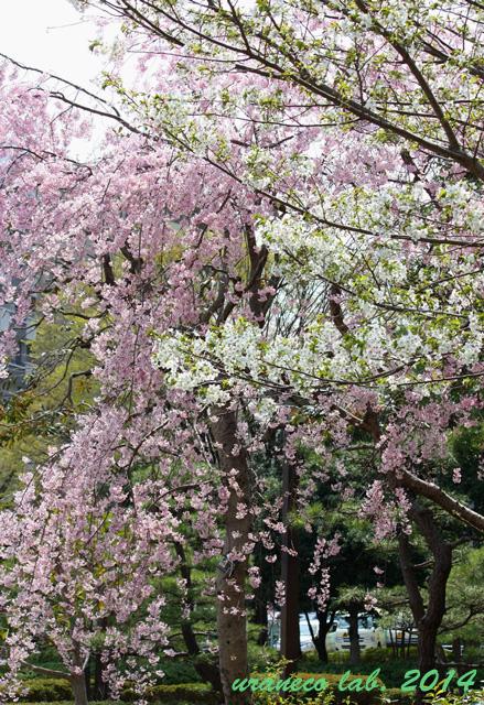 4月9日枝垂れ桜と大島桜