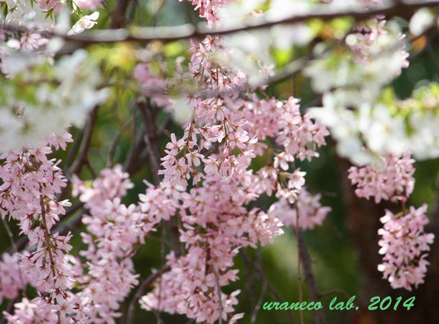 4月9日枝垂れ桜と大島桜3