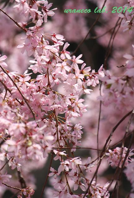 4月9日枝垂れ桜4