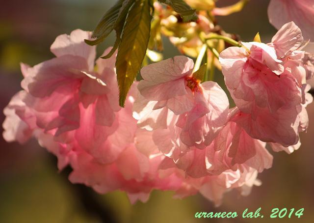 4月23日八重桜