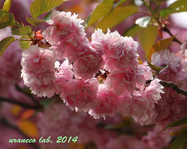 4月22日八重桜2