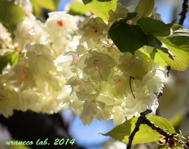 4月23日紅色ウコン桜3