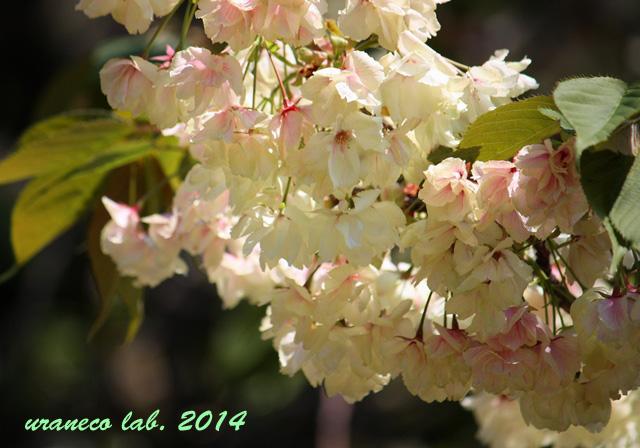 4月23日紅色ウコン桜5